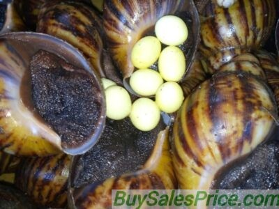 The Best Snail Specie to Buy when Starting a Snail Farm in Nigeria