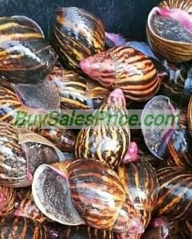 Point of Lay Achatina Marginata Snails for sale