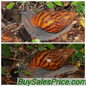 How to know the best Snail Specie to buy when starting a Snail Farm