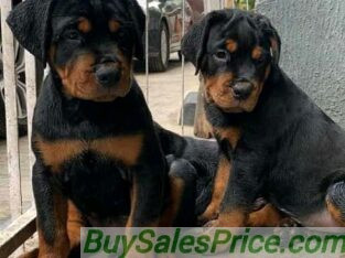 Box head Rottweiler Puppies