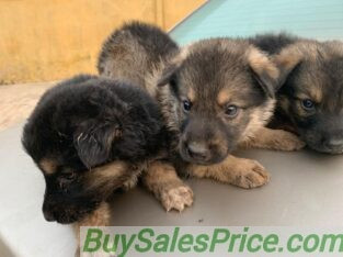 German shepherd puppy dogs available for sale