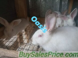 Hyla Rabbits for sale