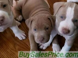 Boarboel Puppies for sale