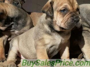 Pure breed boarboel puppies for sale