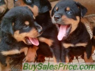 Rottweiler puppies for sale