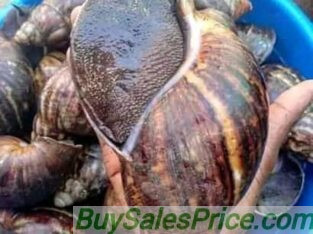 Jumbo size snails available for Sale