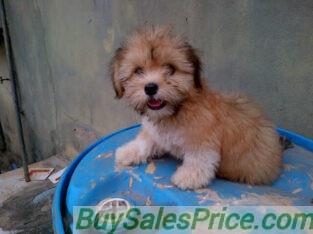 Pure Coton De Tulear Dog/puppy For Sale