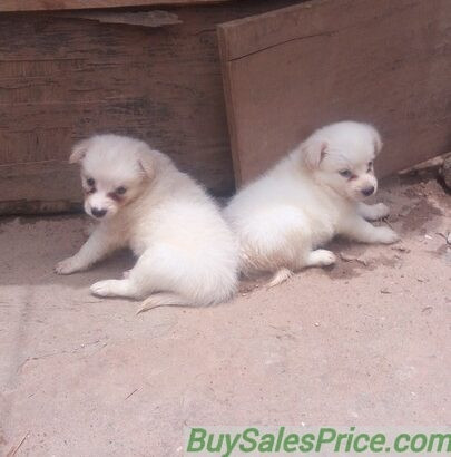 Pure Samoyed Dog/puppy For Sale