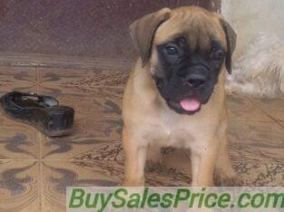 Pure Bull Mastiff Dog/puppy For Sale