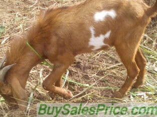 Big Male goat for sale