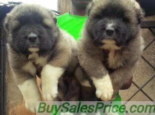 Pure Caucasian Dog/puppy For Sale