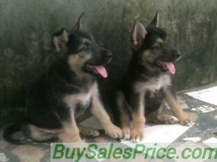 Pure German Shepherd Dog/puppy For Sale