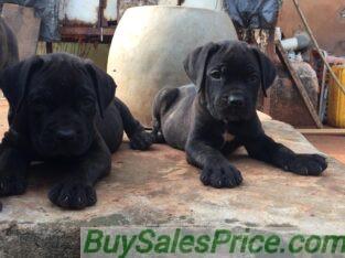 Pure Cane Corso Dog/puppy For Sale