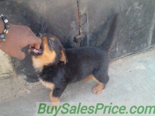 Pure Rottweiler Dog/puppy For Sale
